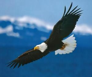 Puzle Águia com asas abertas em voo