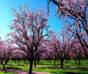 Puzle Árvores de amêndoa de floração na Primavera