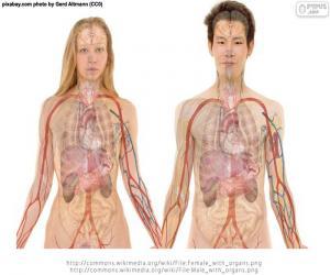 Puzle Órgãos do corpo