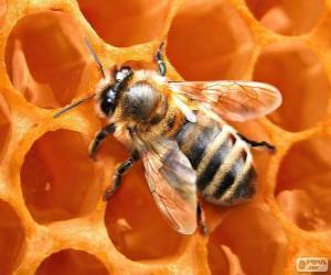 Puzle A abelha de mel. As abelhas que produzem mel