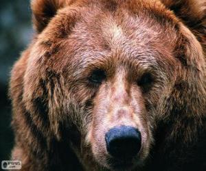 Puzle A cabeça de um urso grande