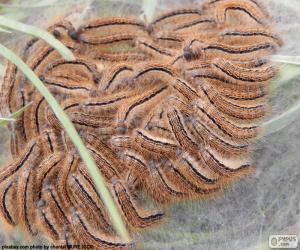 Puzle A mariposa processionary pinho