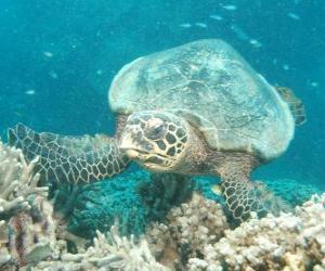 Puzle a tartaruga verde grande