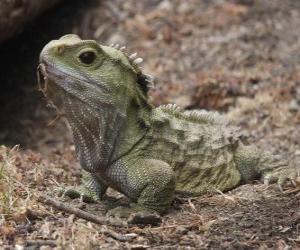 Puzle A tuatara é um réptil endémico da Nova Zelândia que vive apenas em algumas ilhas ao largo deste país