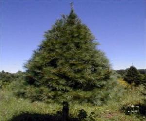 Puzle Abeto - Árvore de Natal