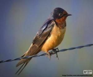 Puzle Andorinha-das-chaminés ou andorinha-de-bando, uma pequena ave migratória