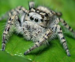 Puzle Aranha