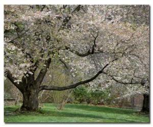 Puzle Árvore de Floração
