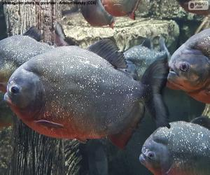 Puzle As piranhas