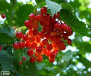 Puzle Azevinho com suas frutas vermelhas