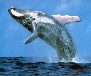 Puzle Baleia saltou