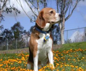 Puzle Beagle