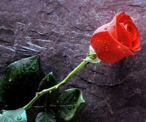 Puzle Bela rosa com espinhos
