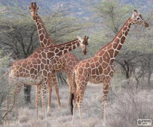 Puzle Belas girafas