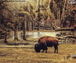 Puzle Bison pastoreio