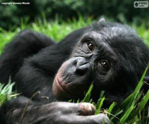 Puzle Bonobo ou chimpanzé pigmeu