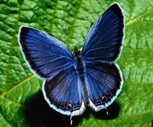 Puzle borboleta azul com asas aberta