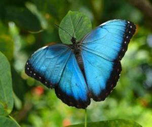 Puzle Borboleta azul