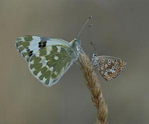 Puzle borboletas repousando sobre uma planta