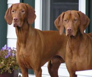 Puzle Braco húngaro de pelo duro é uma raça de cão originários da Hungria