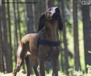 Puzle Cão-farejador-de-hanôver
