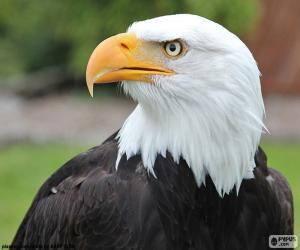 Puzle Cabeça de águia careca