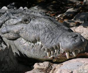 Puzle Cabeça de crocodilo