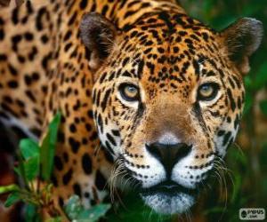 Puzle Cabeça de Jaguar - Onça-pintada