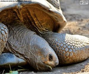 Puzle Cabeça de tartaruga