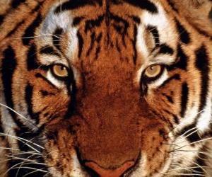 Puzle Cabeça de tigre