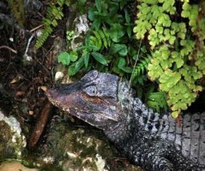 Puzle Cabeça de crocodilo esta à espreita duma presa entre as plantas
