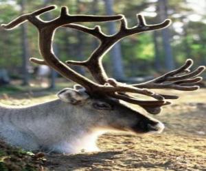 Puzle Cabeça de rena