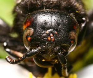 Puzle Cabeça de vespa