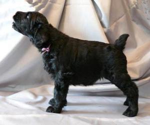 Puzle Cachorro da Terrier preto da Rússia