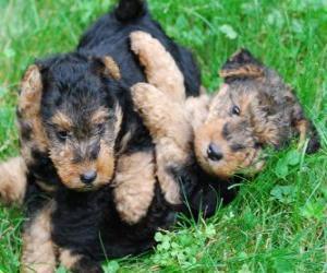 Puzle Cachorro da Welsh Terrier