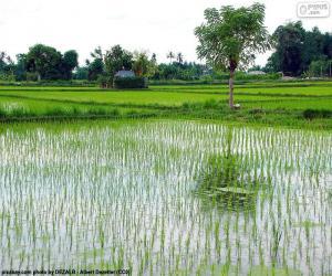 Puzle Campo de arroz, Indonésia