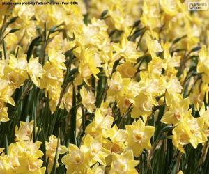 Puzle Campo de Narciso