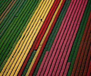 Puzle Campo de tulipas na Holanda