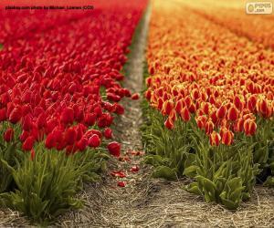 Puzle Campo tulipa