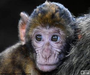 Puzle Cara pequeno macaco