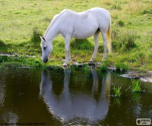 Puzle Cavalo branco bebendo