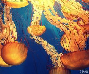 Puzle Chrysaora fuscescens