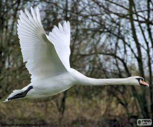 Puzle Cisne branco voando
