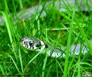 Puzle Cobra-de-água-de-colar