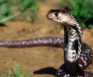 Puzle Cobra