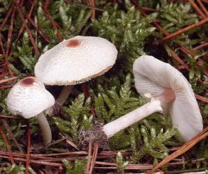 Puzle Cogumelos de pé comprido