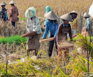 Puzle Colheita de arroz, Indonésia