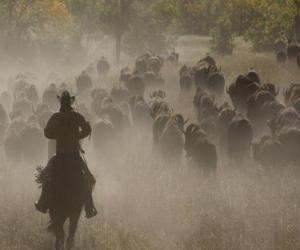 Puzle Cowboy conduzindo um rebanho