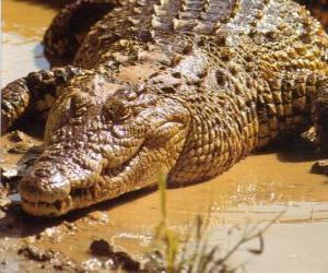 Puzle Crocodilo