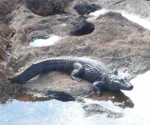Puzle Crocodrile que entra no rio